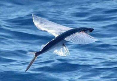 Peștii zburători – cei născuți pe cuspida Vărsător – Pești